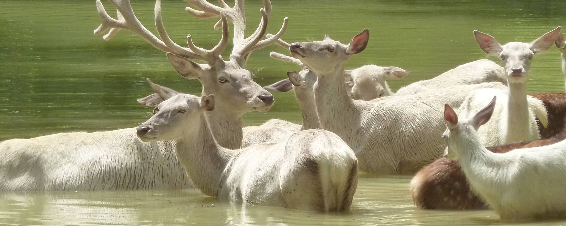 White stags