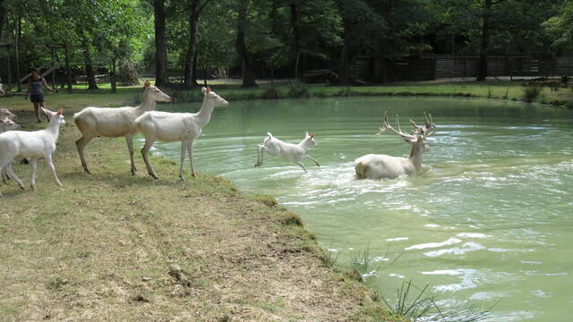 White stags at the Moulin de Poyaller