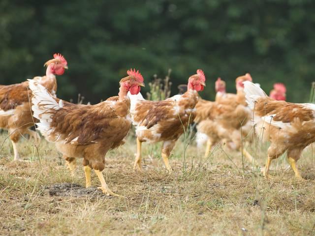 Poulets de St-Sever - volailles