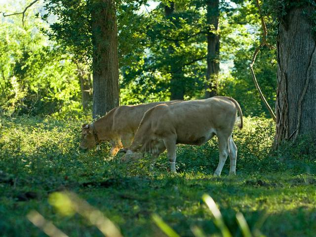 Chalosse beef, the Blonde d'Aquitaine breed