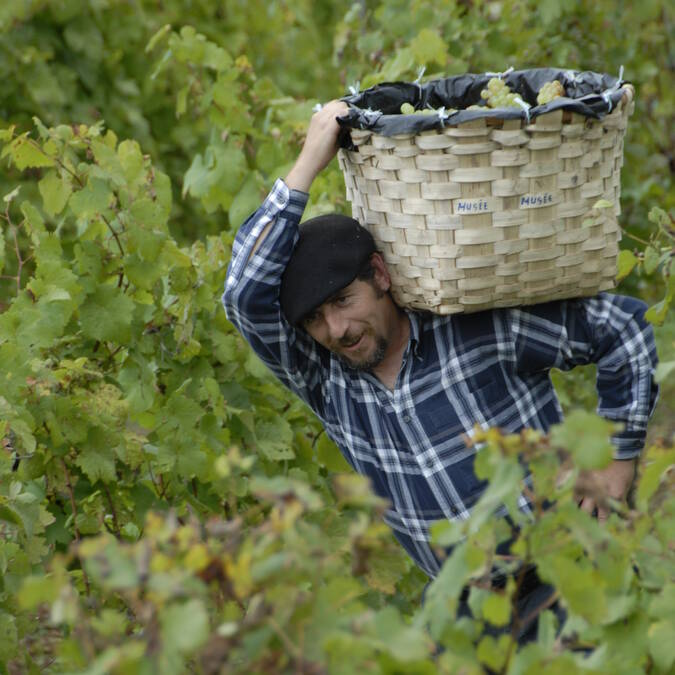 Grape harvest, at work in the vineyard